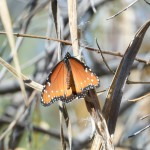 Arizona wildlife: Queen (Danaus gilippus thersippus)