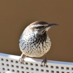 Arizona wildlife: Cactus wren