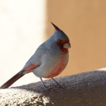 Arizona wildlife: Pyrrhuloxia