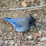 Arizona wildlife: Steller's jay