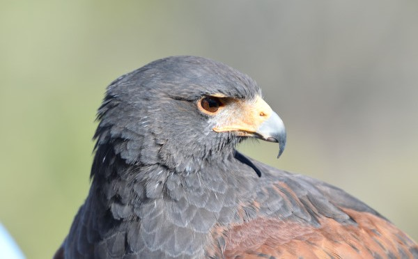 Arizona wildlife: Harris hawk