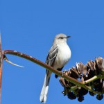 Arizona wildlife: Northern Mockingbird