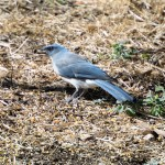 Arizona wildlife: Mexican jay