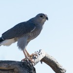 Arizona wildlife: Grey hawk