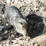 Arizona wildlife: Javelina
