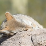Arizona wildlife: Coyote