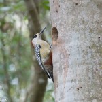 Birds and Birding: West Indian woodpecker