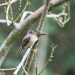 Birds and Birding: Cuban peewee