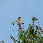 Birds and Birding: Western spindalis (stripe-headed tanager)
