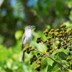 Birds and Birding: La Sagra's flycatcher