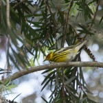 Birds and Birding: Cape May warbler