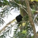 Birds and Birding: Tawny-shouldered blackbird