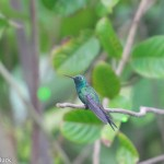 Birds and Birding: Cuban emerald