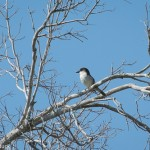 Birds and Birding: Great kingbird