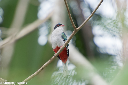 Birds and Birding: Cuban trogon