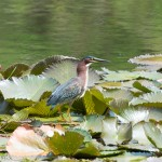 Birds and Birding: Green heron