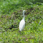 Birds and Birding: Cattle egret