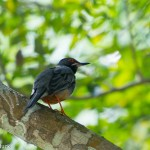 Birds and Birding: Red-legged thrush