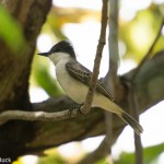 Birds and Birding: Loggerhead kingbird