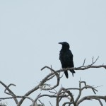 Birds and Birding: Cuban crow