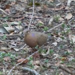 Birds and Birding: Zenaida dove