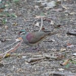 Birds and Birding: Key West quail-dove