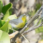 Birds and Birding: Oriente warbler