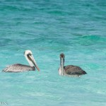 Birds and Birding: Brown pelican
