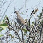 Birds and Birding: White-winged dove