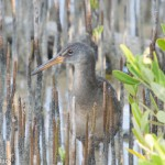 Birds and Birding: Clapper rail