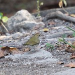 Birds and Birding: Ovenbird