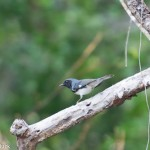 Birds and Birding: Black-throated blue warbler