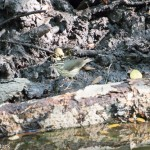 Birds and Birding: Louisiana waterthrush