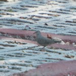 Birds and Birding: Common ground dove (record shot)