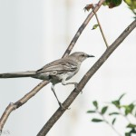 Birds and Birding: Bahama mockingbird