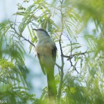 Birds and Birding: Mangrove cuckoo