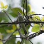 Birds and birding: Black-Whiskered Vireo