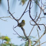 Birds and Birding: Yellow-headed warbler