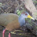 Grey-cowled Wood-rail