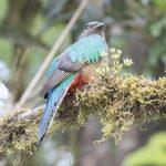 Resplendant Quetzal (F)