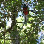 Resplendant Quetzal (M)