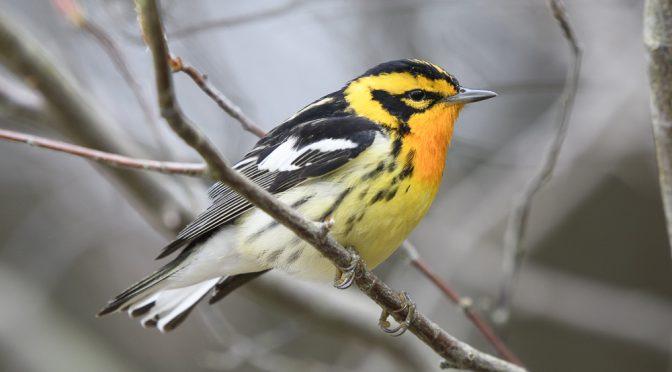 Birding Point Pelee And Southwestern Ontario