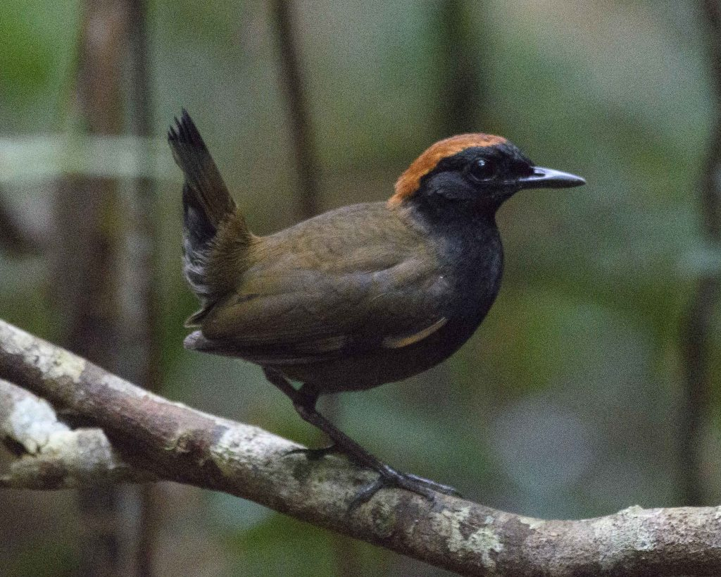Mitú – Rain forest Birding in Colombia