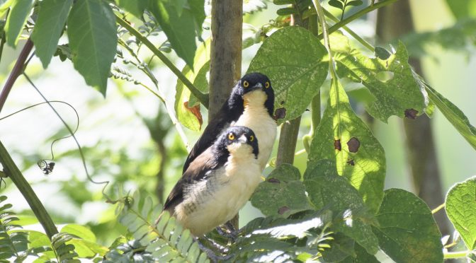 Lists, Taxonomy and the Black-capped Donacobius