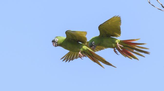 Birding Colombia's Llanos – Hato la Aurora