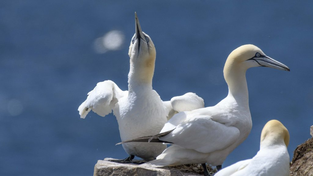 Northern Gannets at Cape St Mary's