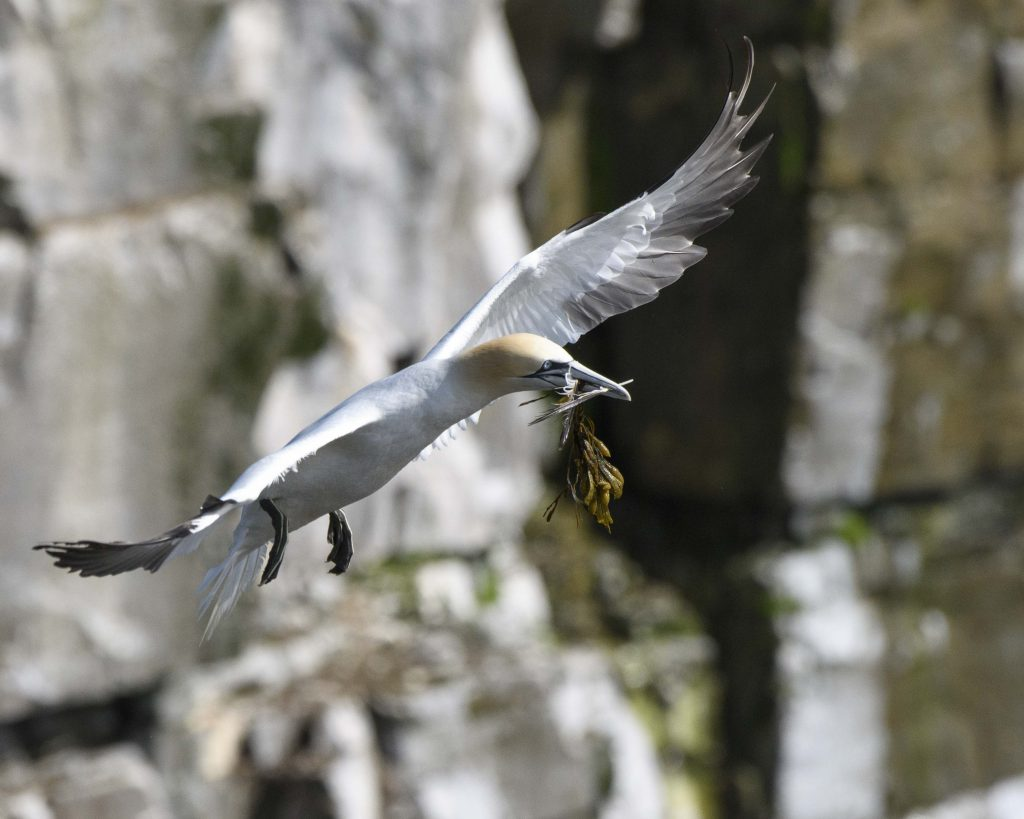 Northern Gannet at Cape St Mary's