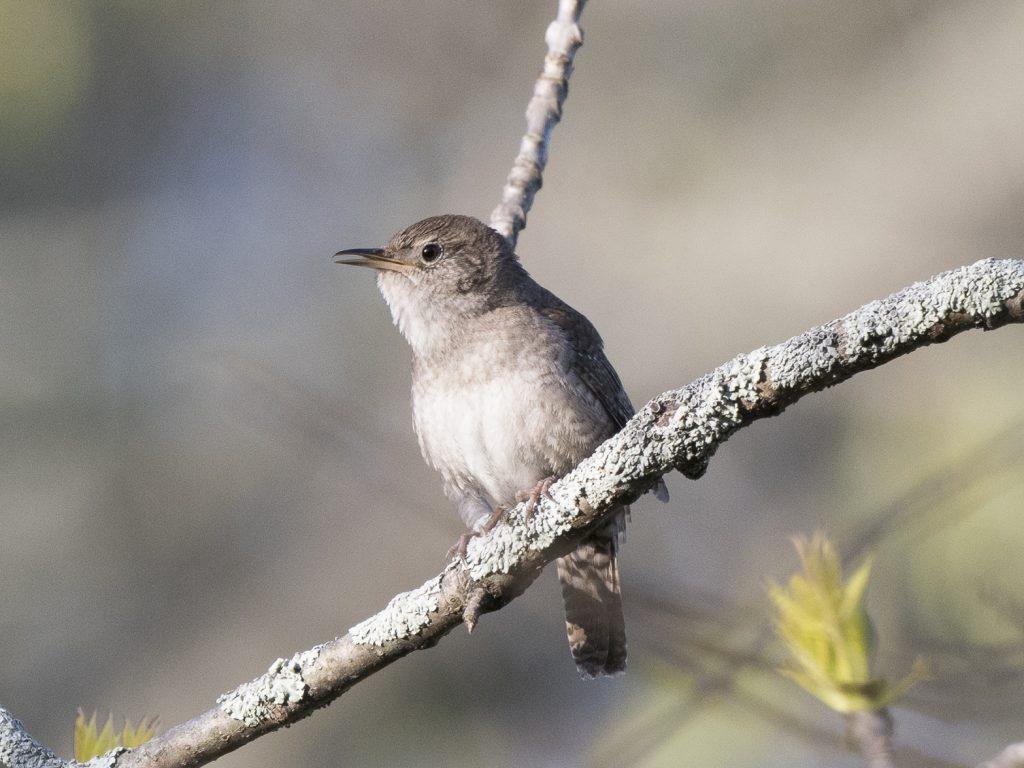 Bird of the Day - House Wren