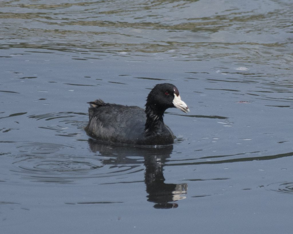 Bird of the Day - American Coot