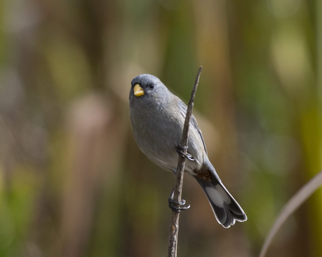 Bird of the Day - Band-tailed Seedeater